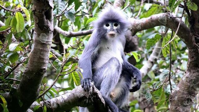 اكتشاف نوع نادر وجديد من القردة في بورما