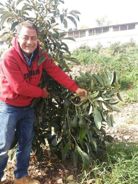 الأفوكادو اللبناني ذو جودة عالميّة- محمد حجازي